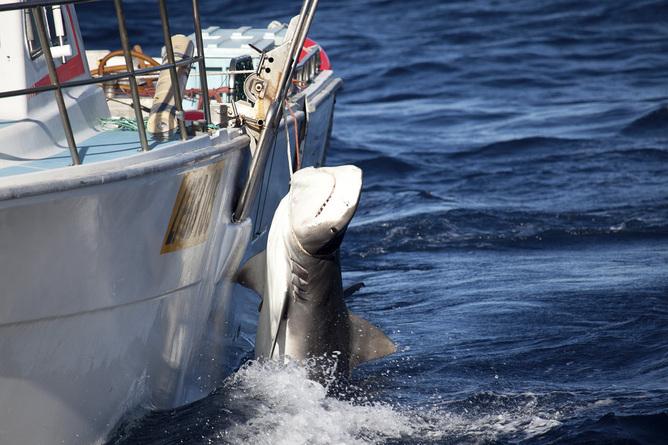 Shark cull in Western Australia